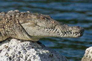 An alligator.